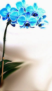 Orquidea azul, não seja enganada