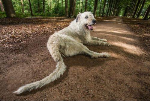 Keon, le chien avec une plus grande queue