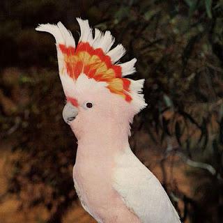 CACATUAS - Bastantes barulhentas e coloridas, as cacatuas têm bicos encurvados e pés com grande capacidade de movimentação, usados para andar, trepar em árvores e levar comida à boca.