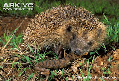 Western european Hedgehog and Asp viper