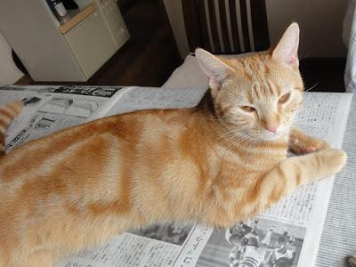 新聞の上に乗る猫