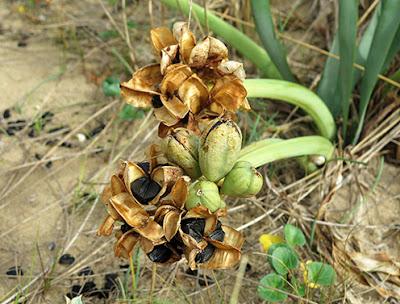 Azucena marina (Pancratium maritimum)