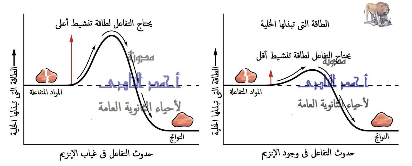 الإنزيمات - تقليل طاقة التنشيط -  مدونة أحمد النادى- أحياء الثانوية العامة