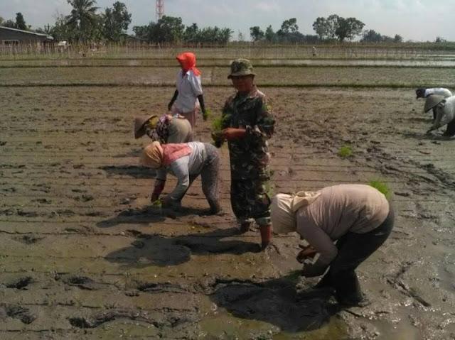 Musim Tanam Padi di Desa Tumpatang Nibung, Babinsa Serka Suhartono Lakukan Pendampingan