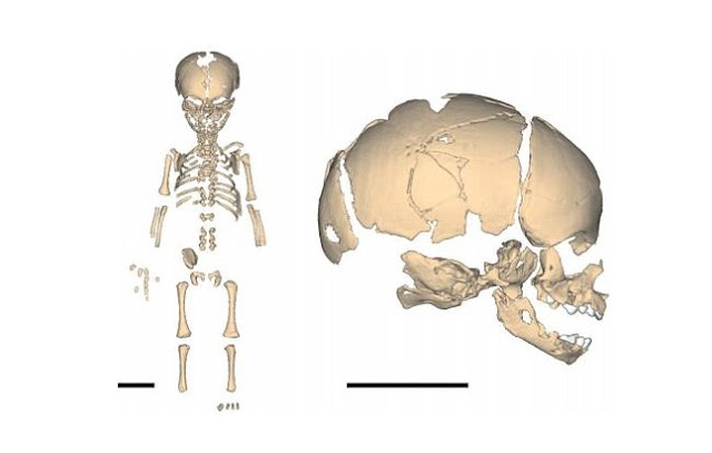 Neanderthals were stocky from birth