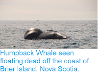 https://sciencythoughts.blogspot.com/2018/09/humpback-whale-seen-floating-dead-off.html