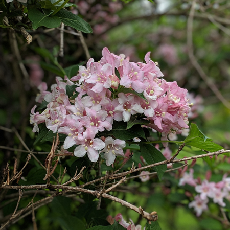 image of a cluster of small pink blooms on a bush
