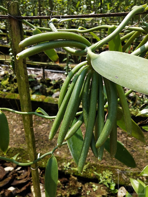Uprawa wanilii płaskolistnej w Chinach, jak uprawia się wanilię w gruncie, jak pielęgnować wanilię, ciekawostki na temat Vanilla planifolia, dziwne storczyki, egzotyczne pnącza użytkowe do uprawy w domu, hodowla wanilii w doniczce i gruncie. Rośliny przyprawowe, historia wanilii. How to grow vanilla? Jak i gdzie rośnie wanilia?