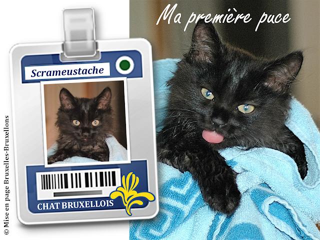 Nos amis les chats bruxellois - Badge d'identification dorénavant obligatoire pour tous les chatons nés en Région bruxelloise - (c) Bruxelles-Bruxellons