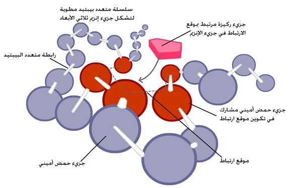 What-are-Enzymes-Definition-ما-هو-تعريف-الانزيمات