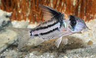 Jenis Ikan Corydoras parallelus