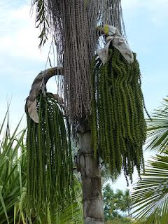 Caryota cumingii - Palmier de Cuming - Palmier queue de poisson - Palmier céleri