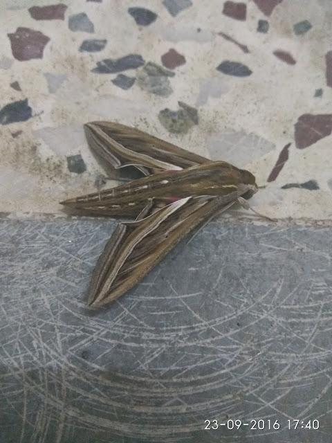 Moth in Marathi meaning Patang