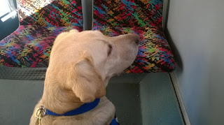 Assistance dog Bindi, sitting on the floor of a bus, looking out the window