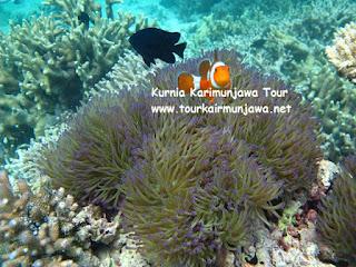 ikan badut dan anemon di karimunjawa