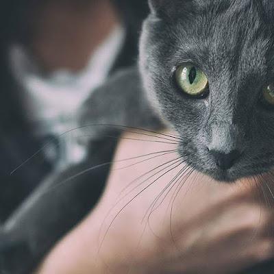 kot rosyjski srebrny, niewydolność nerek u kota
