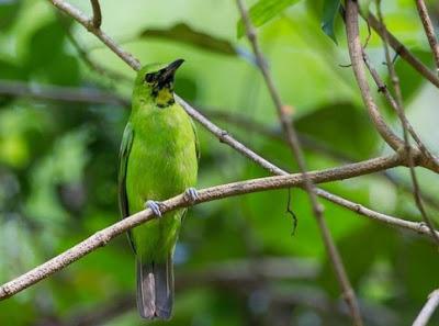Tips Dan Cara Agar Burung Cucak Ijo Cepat Nopeng Yang Sudah Terbukti