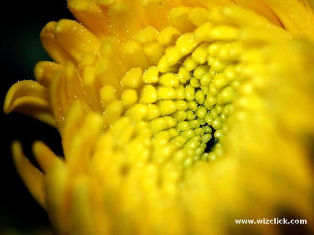 A 1:1 Macro images of a blooming Chrysanthemum Bud