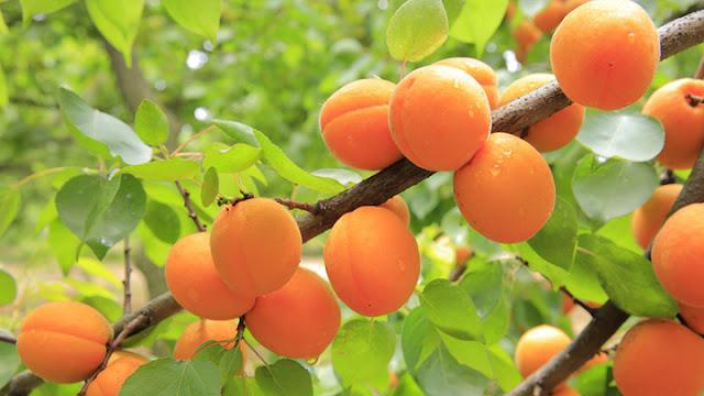 Με καλές τιμές παραγωγού ξεκίνησαν οι υπερ-πρώιμες και πρώιμες ποικιλίες βερίκοκου στην Αργολίδα