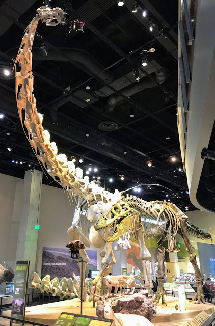 Alamosaurus sanjuanensis cast mounted at Perot Museum