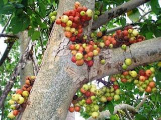 buah lo