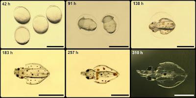 Desarrollo embrionario pota voladora © Laura Roig