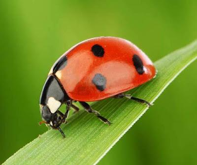Animals That Start With L - Ladybug