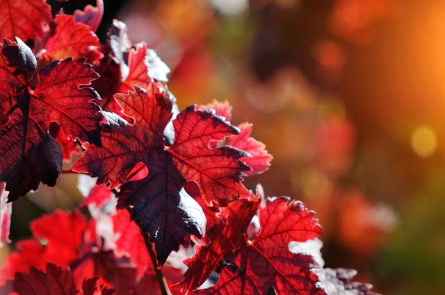 Vigne rouge -Blog beauté Les Mousquetettes