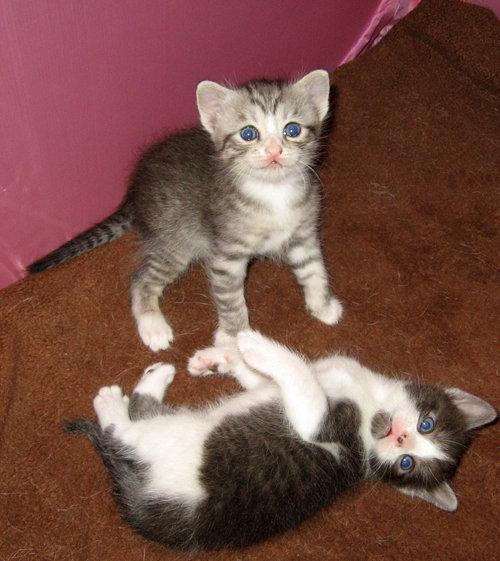 doi pui de pisica mirati