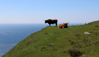 Cows enjoying the view