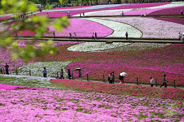 秩父 羊山公園の芝桜