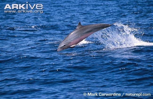 Fraser´s dolphin