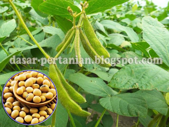 polongan yang banyak dibudidayakan di Indonesia Tehnik Ampuh Budidaya Kacang Kedelai Yang Baik dan Benar