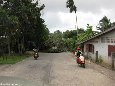 Durian tree, felled by the storm