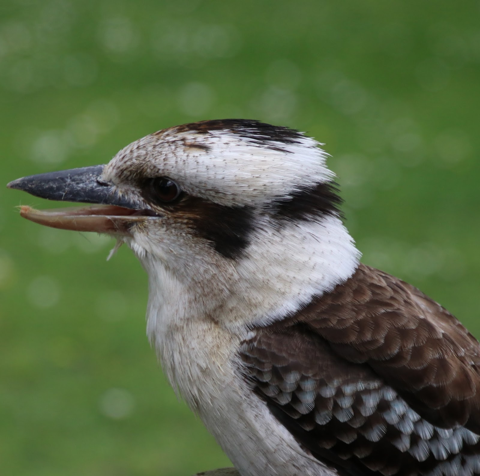 Picture of a laughing kookaburra bird.
