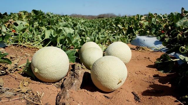 RN espera triplicar produção de melão e criar 40 mil vagas de trabalho após viagem à China