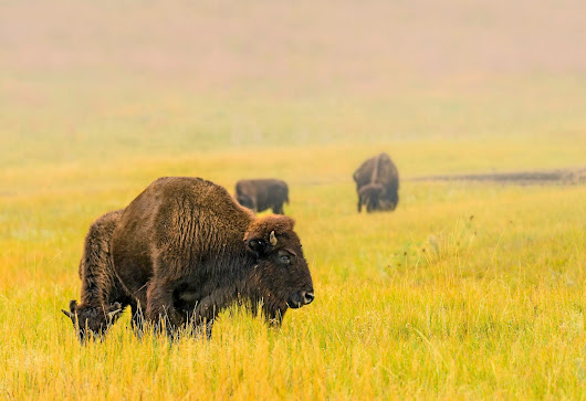 Foggy Bison Morning Revisited