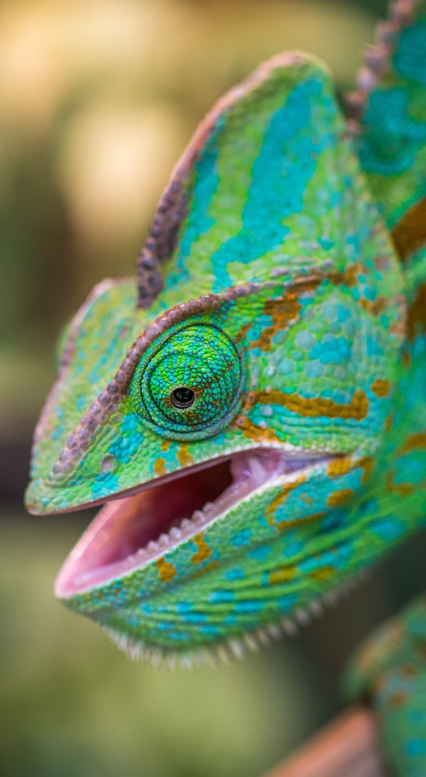 Picture of a chameleon up close.