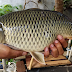 Cara Cepat Memancing Ikan Mas di Kolam