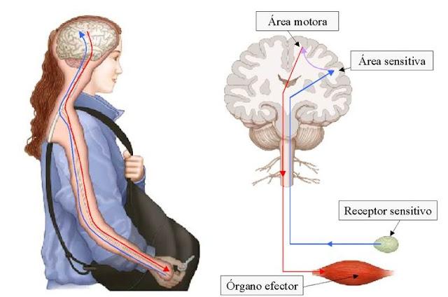 prednisone pulse