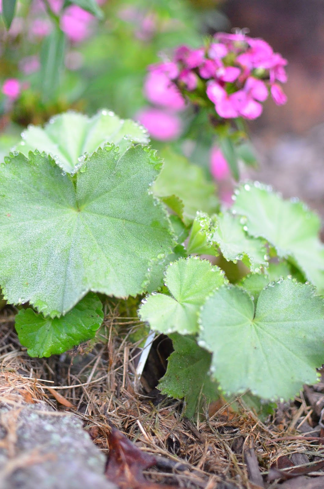 Lady's Mantle - Alchemilla Mollis at A Nest for All Seasons Stonecrest Gardens