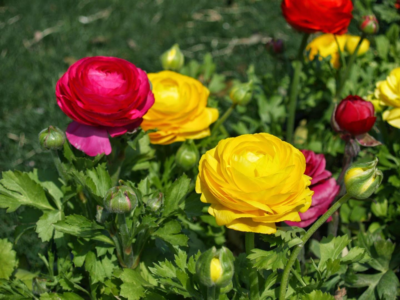 Imagenes D Rosas Amarillas