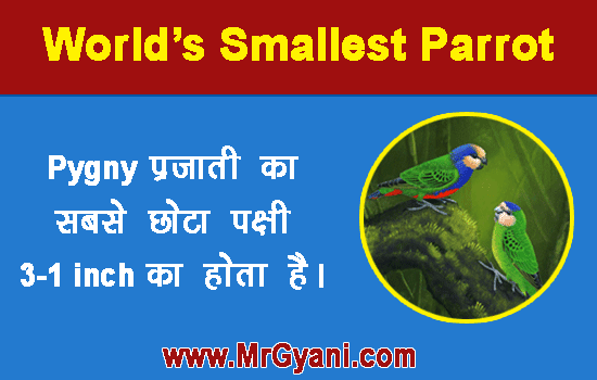 Pygmy Smallest Parrot in Hindi