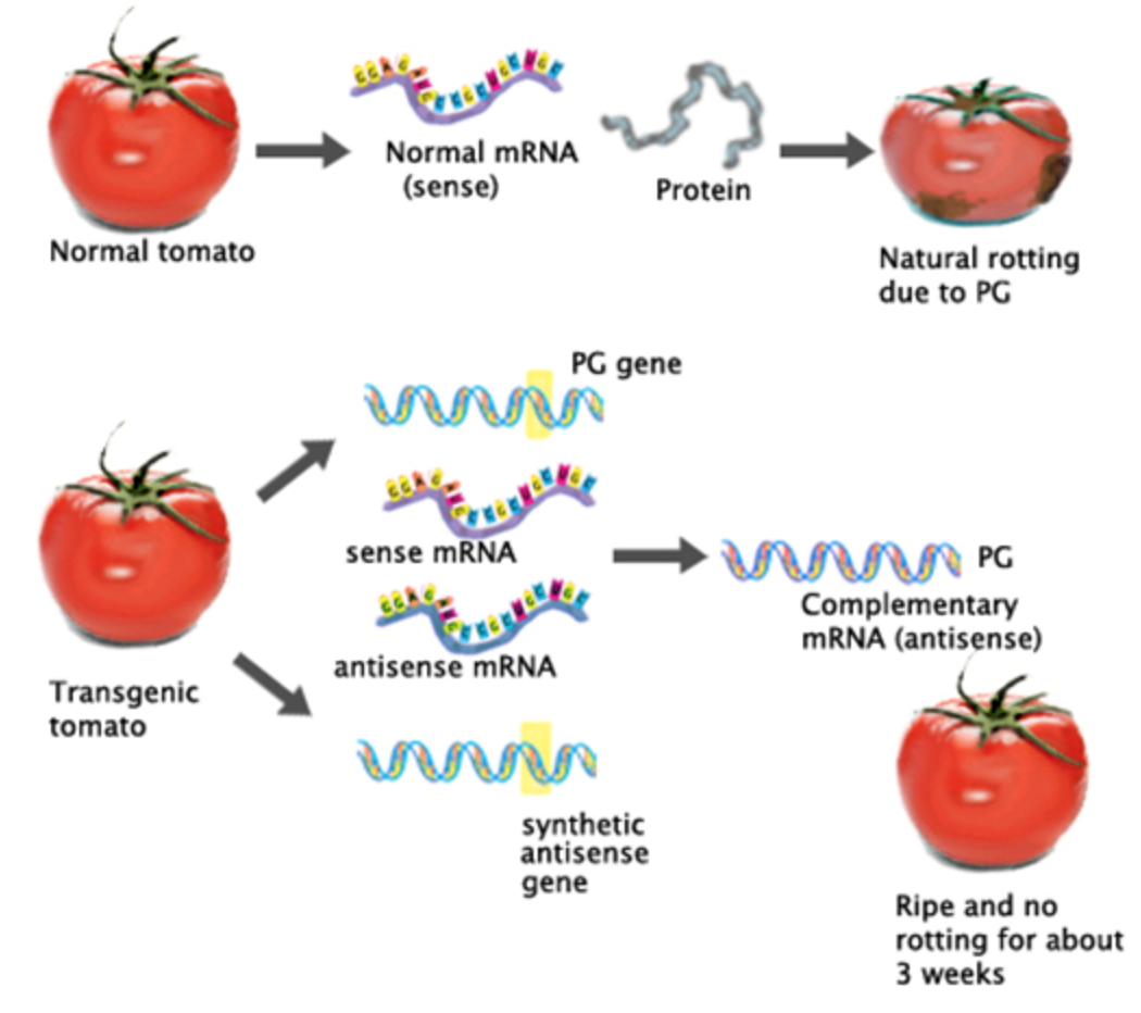flavr savr The flavr savr tomato was introduced as the first genetically engineered whole food in 1994 the commercial event, resulting from transformation with an antisense.