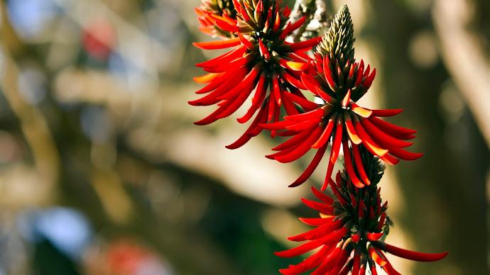 Wallpaper: Flame Tree Flower