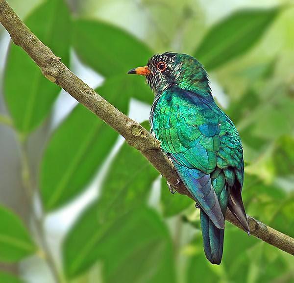 Cuclillo esmeralda asiático: Chrysococcyx maculatus