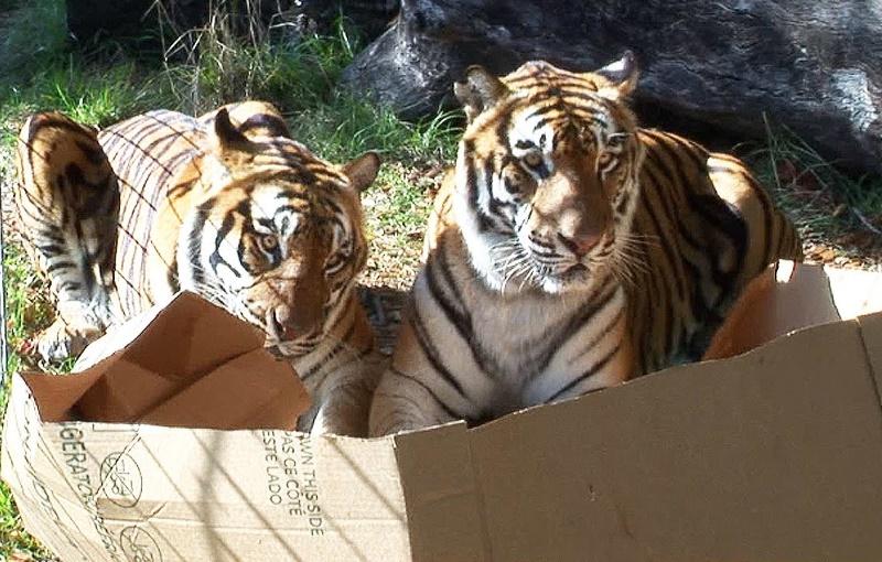 Dois tigres numa caixa decartão