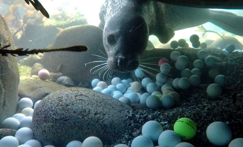 Foca a nadar ao pé de bolas de golfe