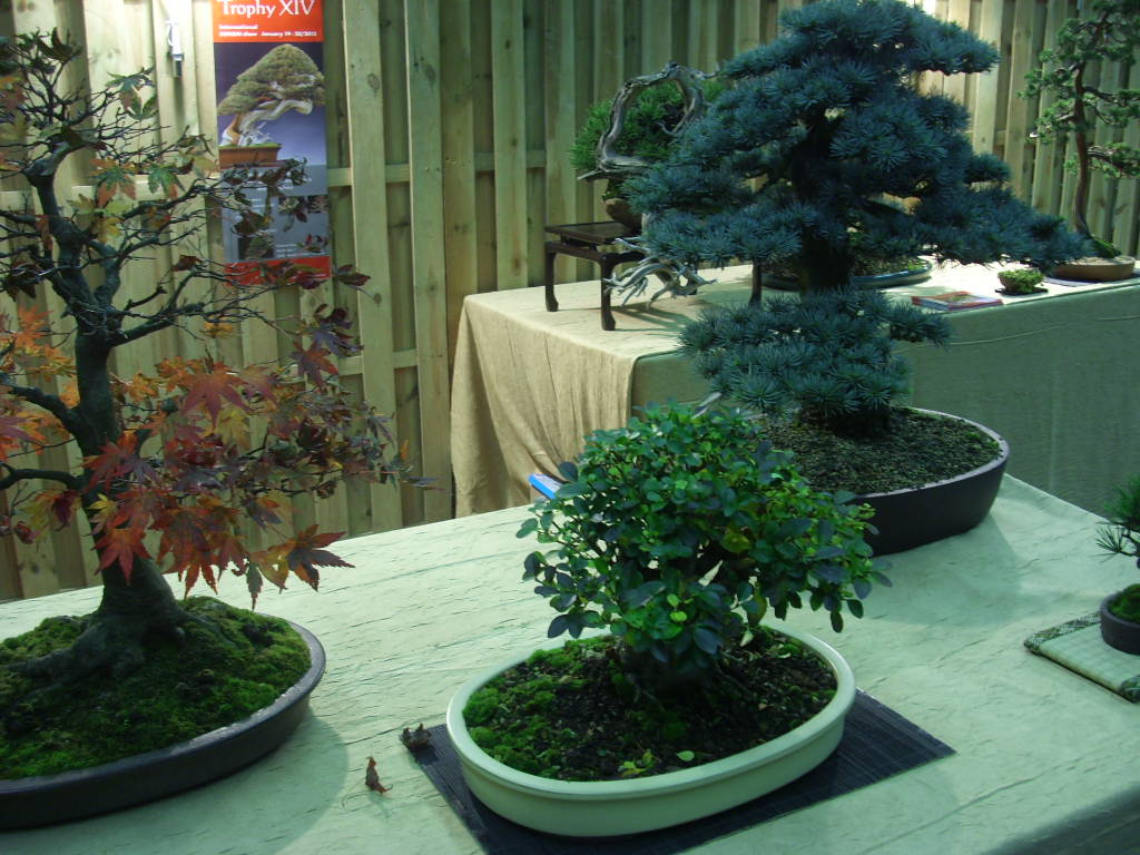 Ficus Ginseng Laat Blad Vallen Bonsai Boompjes Interesting Bonsai Uac With Bonsai Boompjes Top