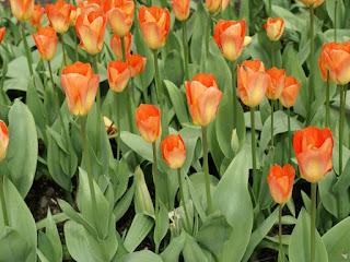 Tulipe forsteriana Orange breeze - Tulipa Orange breeze - Tulipe Orange breeze